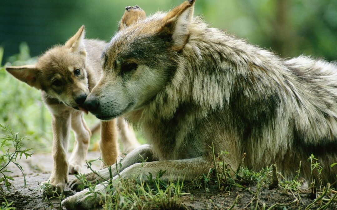 UNAM busca salvar al lobo mexicano de la extinción
