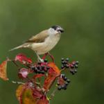 El cambio climático y la dispersión de semillas por aves