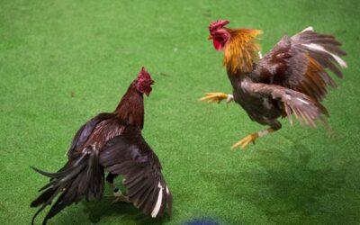Peleas de gallos, patrimonio cultural en Hidalgo