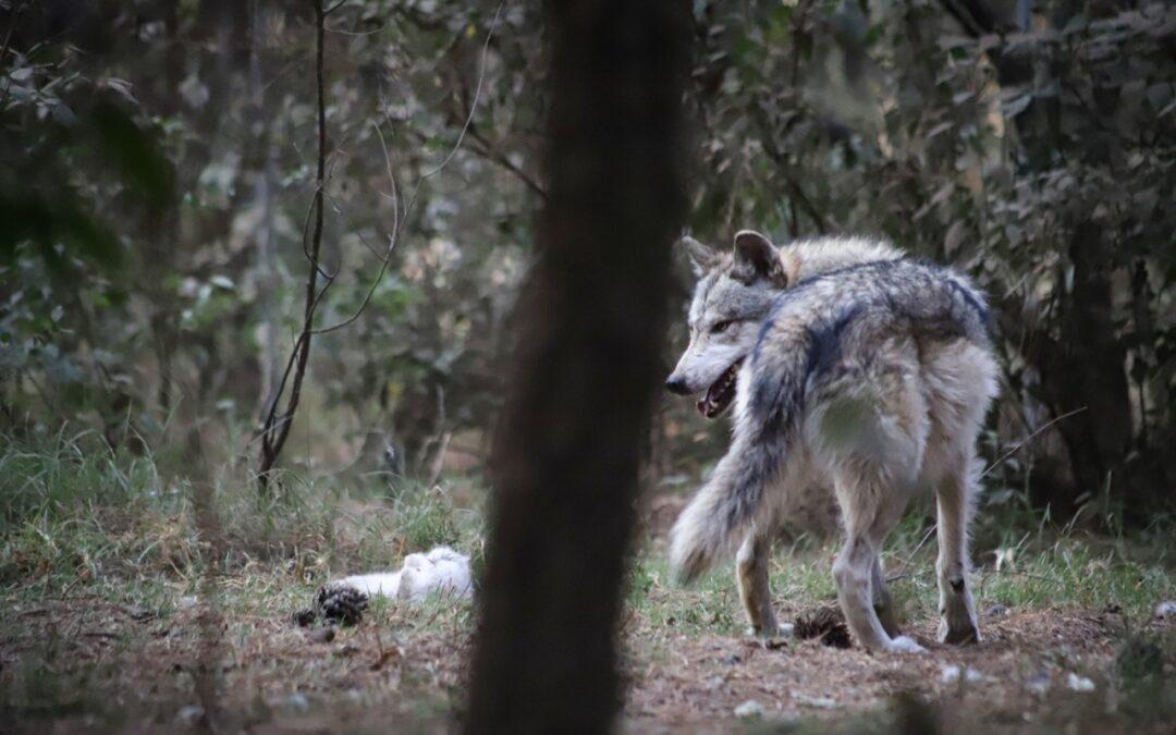 Localizaron a ejemplar de Lobo mexicano en Tenancingo